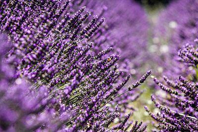 Láka vás čaro provensálskej záhrady? Týchto 5 rastlín ju vytvorí aj u vás doma