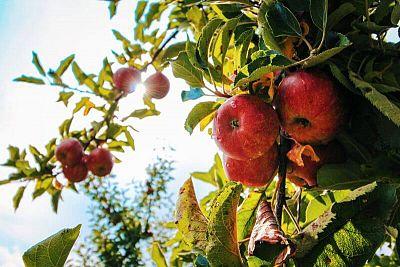 Pestovateľ Majo Molnár radí: Ovocné stromy si kupujte podľa času zrenia, nie podľa mena